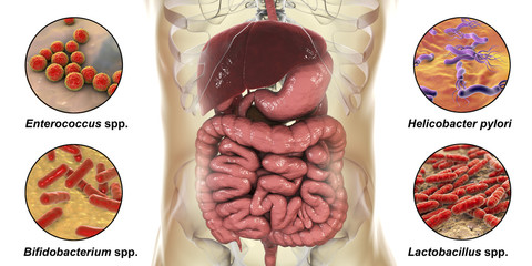 Intestinal microbiome, bacteria colonizing different parts of digestive system, Enterococcus, Helicobacter pylori, Bifidobacterium, Lactobacillus