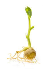 A green pea sprout isolated on a white