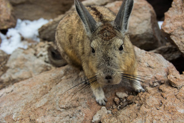 Desert Rabbit Playful