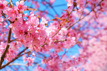 Beautiful pink cherry blossom in spring. Sakura pink flower with nature background. Soft focus.