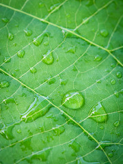 Water Rain Drops Perched on The Elephant Climber Leaf