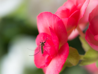 Mosquito Sucking Nectar from The Red Flower