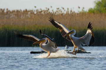 White Pelican in Danube Delta