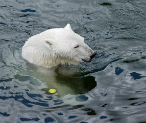 Huge polar bear in water