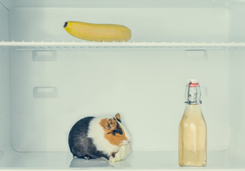 Red little guinea pig in the fridge with banana behind the bottle