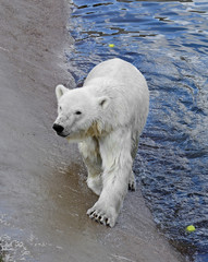 Polar bear near water