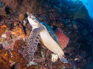 Green Turtle at Bunaken