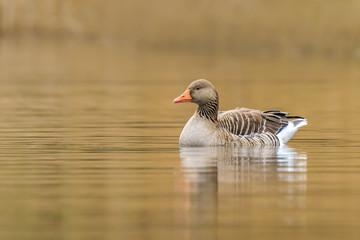 Greylag goose Anser Anser swimming