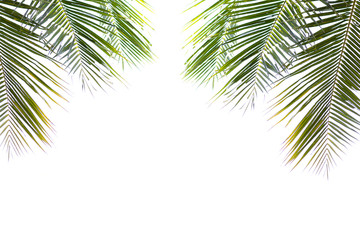 coconut green beautiful leaves isolated on white background