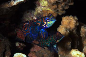 Mandarinfish Couple (aka Mandarin Dragonet, Synchiropus splendidus), about to Mate. Moalboal, Philippines
