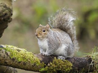 Fotoväggar - Grey squirrel, Sciurus carolinensis