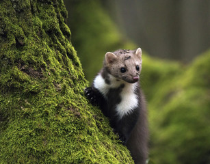Stone marten on an old tree. Detail portrait of forest animal.