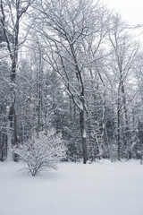 Fluffy dry snow covering trees and bushes in New Hampshire