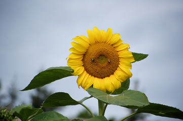 A SUNFLOWER WITH BEES COLLECTING POLLEN