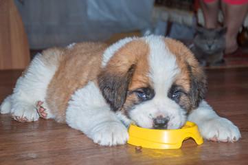 dog Saint Bernard puppy eating out of a bowl
