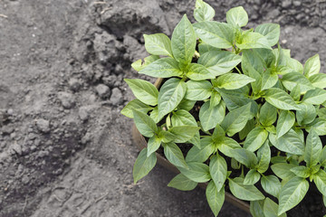 Seedlings of bell pepper, close-up of young foliage of pepper, fresh spring background