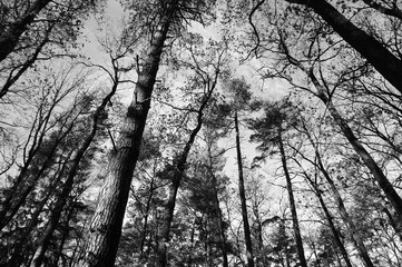 Wild forest with high trees in black and white