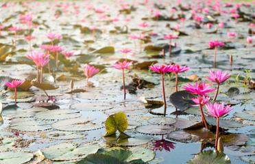 Many red waterlily in a pond with morning sun light reflection