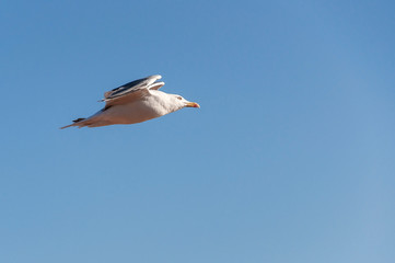 Flying seagull against a blue sky