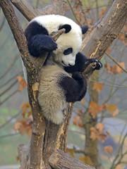 Giant Panda near Chengdu, Sichuan Province, China
