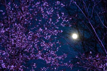 ライトアップされたサクラと満月