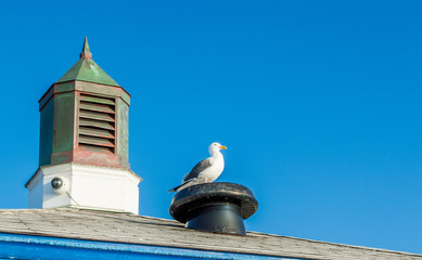 white and black seagull siting on a roof vent next to a weathered cupola