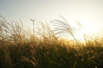 Sunset of silver grass