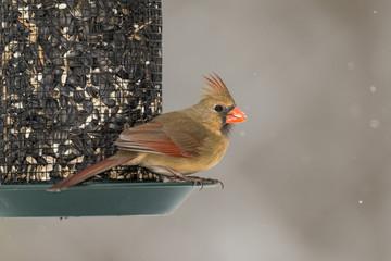 Female Northern Cardinal on seed feeder.