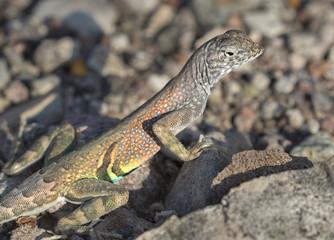 Greater Earless Lizard (Cophosaurus texanus)  at Big Bend National Park