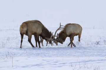 Two elks fighting on snow