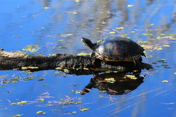 Florida Swamp Wildlife / Turtle on a Log