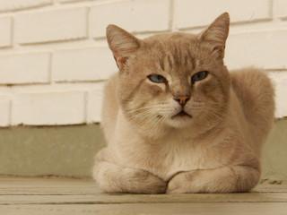 Gato bege de olhos azuis deitado, ao fundo parede de tijolos brancos