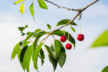 Ripe cherry on a branch on a light background
