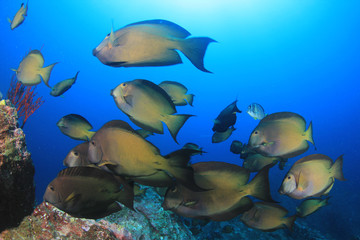 Surgeonfish fish on coral reef
