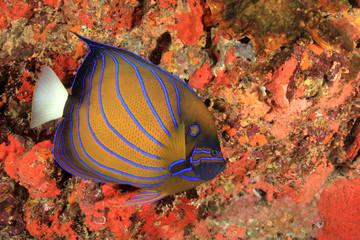 Blueringed Angelfish reef fish