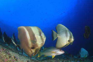 Longfin Spadefish (Batfish) fish