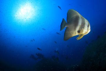 Spadefish and scuba diver