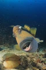 Titan Triggerfish fish eating snail shell
