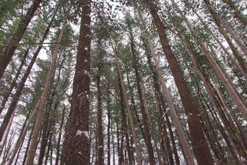 red pine forest