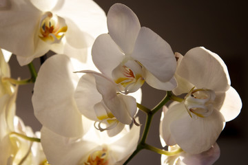 White Orchid on a dark background. Close-up. Selective focus.