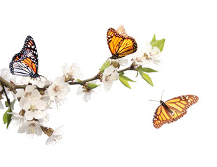 Flowers of cherry and monarch butterflies