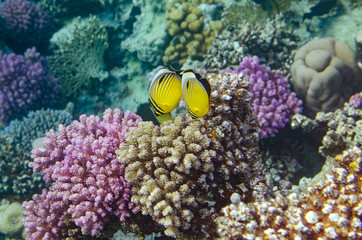 Tropical fish and corals in the Red Sea, Egypt.