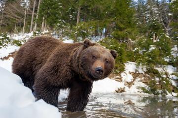 Wild brown bear near a forest lake