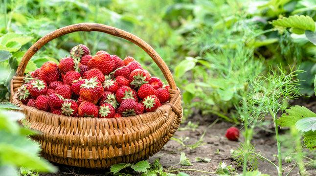 Fresh farm strawberries in field, strawberry basket, eco food concept