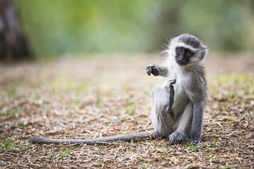 Vervet Monkey scratching