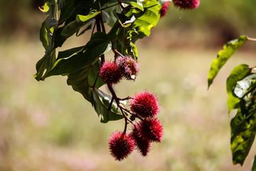 Rote Litschi Frucht am Baum