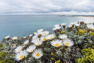 Helichrysum retortum, Sea Strawflower