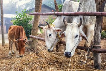 Zebus, Humped Cattle, Nepal
