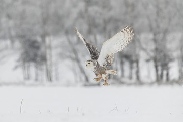 Snowy Owl in Flight over Snow Field