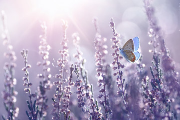 Surprisingly beautiful  colorful floral background. Heather flowers and butterfly in rays of summer sunlight in spring outdoors on nature macro, soft focus. Atmospheric photo, gentle artistic image.